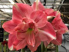 #amaryllis #blüte #vielfalt #auswahl #dekoriert #undekoriert #erlebnisgaertnerei #ebbs #mils #tirol Amaryllis, Plants, Poinsettia, Plant, Planting, Planets