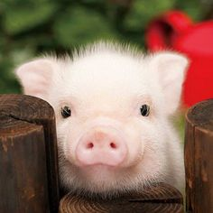little cute piggy