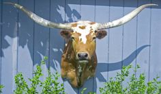 ace27acc 10 Best Longhorn Steer images in 2017 | Longhorn steer, Taxidermy ...