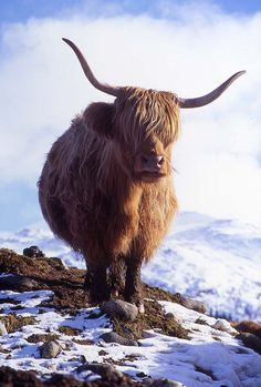 Highland cow,Scotland