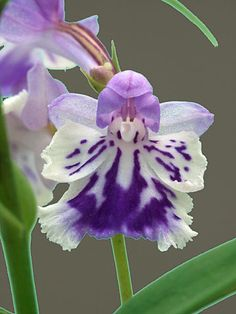 Orchid Ponerorchis Graminifolia I love orchids but I have a black thumb when it comes to raising them! Unusual Flowers, Unusual Plants, Rare Flowers, Exotic Plants, Amazing Flowers, Purple Flowers, Beautiful Flowers, Blooming Flowers, Yellow Roses