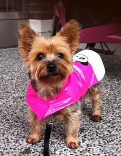 Gracie Silky Terrier | Pawshake