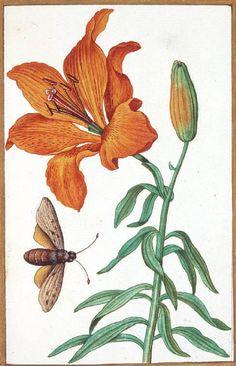 "aleyma: "" Antoine du Pinet, Lilium Bulbiferum (Orange Lily) with an insect, century (source). Illustration Botanique, Illustration Blume, Botanical Illustration, Vintage Botanical Prints, Botanical Drawings, Botanical Flowers, Botanical Art, Leaf Projects, Vegetable Illustration"