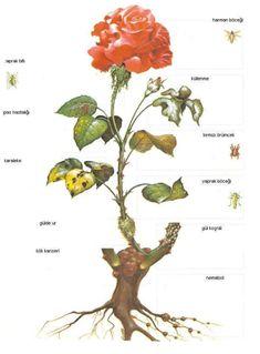 30 diagrams to make you master in growing roses pinterest gl bakm budama gl gl renkleri gl cinslerigl budama mevsimi ccuart Images