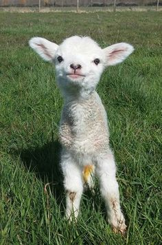 Fashion Tips For Guys .Fashion Tips For Guys Baby Sheep, Cute Sheep, Sheep And Lamb, Cute Little Animals, Cute Funny Animals, Cabras Animal, Farm Animals, Animals And Pets, Wild Animals