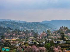 Japan in India:  'India's 2nd Autumn Cherry Blossom Festival in Shillong: Know It All'  (Nov 8 - 11, 2017) @getsholidays   If there were no cherry blossoms in this world How much more tranquil our hearts would be in spring.. #cherryblossoms are a thing of joy in Spring. But, in India, when the rest of the country shed leaves in autumn, #shillong in #meghalaya.. #travelindia #trees #flowers #neindia