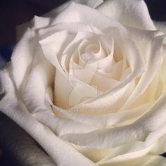 White rose by Vyamester on DeviantArt White Roses, Deviantart, Facebook, Instagram