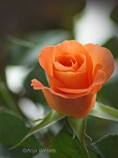 nice orange rose Blue Roses, Orange Flowers, Orange Color, Pretty Roses, Beautiful Roses, Colorful Roses, Fire And Ice, Flower Photography, Plants