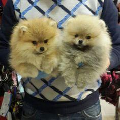 İletişim: Cemal Kuruoğlu  0533 201 49 17   0224 413 55 66 (Mağaza) Aradığınız En özel PomeranianBoo Yavrularımız sizleri beklemeketedir...
