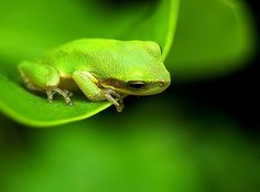 lime green frog