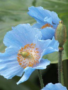 Wonderful Flowers, Beautiful Flowers, Blue Palette, Ikebana, Flower Power, Blues, Watercolor, Poppies Painting, Rose