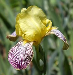 MTB Iris germanica 'Gracchus' (Ware, 1884)