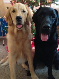 Brooks (SDiT currently in the prison rotation) and Mirage (Black Lab) in service (April 2014) as a Mobility/PTSD dog to a Vietnam veteran.