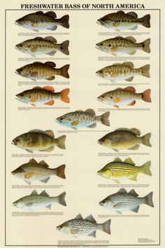 Freshwater Bass of North America, Great Lakes.  Very cool, beautifully illustrated poster.