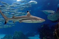 Pictures for Desktop: shark wallpaper, 528 kB - Pascoe Williams