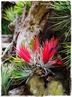 Helpful Guidelines In Growing Indoor Bonsai Trees Air Plant Tillandsia Unusual Plants, Cool Plants, Air Plants, Cactus Plants, Indoor Plants, Strange Flowers, Rare Flowers, Bushes And Shrubs, Plante Carnivore