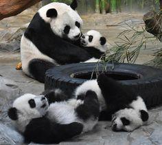 Première rencontre entre les triplés pandas et leur mère