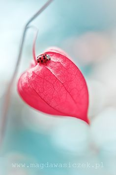 Ladybird on a Chinese Lantern Flower... by Magda Wasiczek on 500px