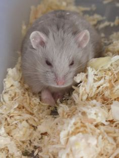 My hamsters (Babies included) Started by Magi_Axi_Ruin , Nov 11 2010 05:05 PM