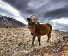 Someone commented on my Flickr account that this horse reminds him a bit of Donald Trump. - Iceland - Photo from #treyratcliff Trey Ratcliff at http://www.StuckInCustoms.com
