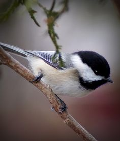 Black Capped Chickadee. These cheery little guys can really brighten up a dreary Pennsylvania winter day.