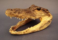 Real Alligator head from Louisiana. In shamanic traditions they symbolize a source of primal energy & wisdom. Use for an altar. Marie Laveau's House of Voodoo