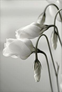White Lisianthus The Nature Beauty
