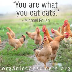 95 percent of our red meat comes from Confined Animal Feeding Operations (CAFOs), where animals are abused, injected with antibiotics and growth hormones, and fed herbicide-drenched GMO grains. It's time to change how we produce meat! Why Vegetarian, Vegetarian Cooking, Heritage Chickens, Michael Pollan, Childrens Meals, Systems Biology, Organic Chicken, Vegan Animals, Food Facts