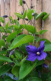 Clematis Durandii - winterharde bladhoudende terrasplant