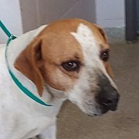 Urgent! I am at a full, kill shelter in Troy, Ohio - Beagle. Meet Mickey, a for adoption. https://www.adoptapet.com/pet/21183366-troy-ohio-beagle-mix
