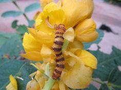 Orange barred sulphur caterpillar at Longue Vue
