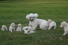 Poodle Heaven can the Poodle mother tell them apart???