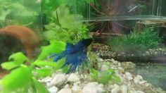 pareja de bettas,El Betta es un pez de agua dulce que habita en entornos...