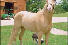 Shakespeare is a magnificent  Cremello gelding.   He's a professionally trained Tennessee Walking horse with all the attributes that make them special.  He's stout, reliable and smooth.  Very level headed, nice canter and a consistent running walk on a loose rein.