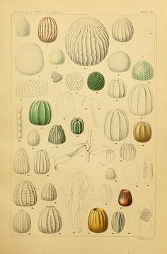 Butterfly eggs, from The butterflies of the eastern United States and Canada, Cambridge, 1889.