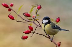 (notitle) The post Untitled appeared first on Marcia Sterling. Wild Bird Food, Wild Birds, Pretty Birds, Beautiful Birds, Funny Bird, Animals And Pets, Cute Animals, Parus Major, Great Tit