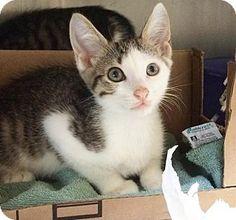 Media, PA - Domestic Shorthair. Meet Finn, a kitten for adoption. http://www.adoptapet.com/pet/13797150-media-pennsylvania-kitten
