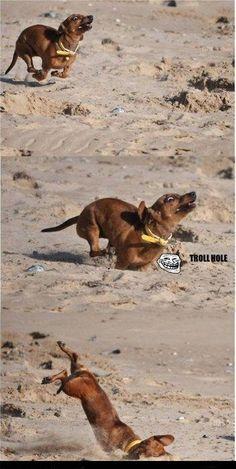 Run Doxie Run-Oops.