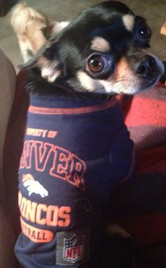 6c97cff88 This little Chihuahua models his  Broncos sweater like no one s business!