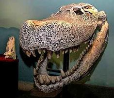 Purussaurus is an extinct genus of giant caiman that lived in South America during the Miocene epoch, 8 million years ago. It is known from skull material found in the Brazilian, Colombian and Peruvian Amazonia, and northern Venezuela. The estimated skull length for one large individual of the type species P. brasiliensis is 1,400 millimetres (55 in).[1] Paleontologistsestimate that P. brasiliensis reached around 12.5 metres (41 ft) in length, and weighing around 8.4 metric tons.