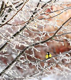"""Great Tit (Parus major) Talgoxe and lots of rime. (This is a reprise shot from winter of Included in my - 366 Days"""" project I Love Winter, Winter Snow, Winter Time, Winter Christmas, Beautiful Birds, Beautiful World, Simply Beautiful, Parus Major, Winter Schnee"""