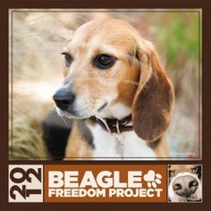 "BEAGLE FREEDOM PROJECT...check out their site.  Beagles are a popular breed used for laboratory testing.  They live in cages/crates all or most of their lives.  Please educate yourself on the cause to save these wonderful dogs.  These precious ones do not offer their paws to ""high-five"" they offer it because they are accustomed to being injected with some testing matter or for giving their blood.  This organization is doing good things by saving their lives from the testing labs!"