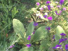 Swallowtail butterfly at Buddhist Temple, Talmage