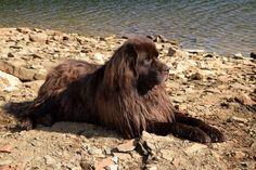 Zeus, our Newfoundland dog, hanging out by the lake.