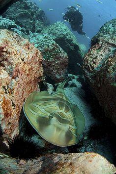 Banjo Shark::Montague Island - Oz