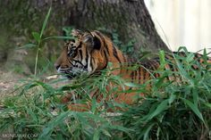 Indonesia races to catch tiger alive as villagers threaten to 'kill the beast' » Focusing on Wildlife
