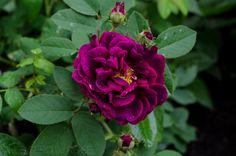 Tuscany Superb Gallica Rose in rain | Hedgerow Rose