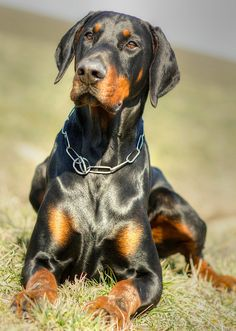 Doberman by I AM ....*