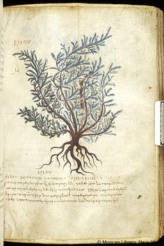 De materia medica, MS M.652 fol. 19r - Images from Medieval and Renaissance Manuscripts - The Morgan Library & Museum