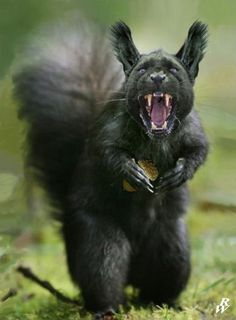 Black squirrel by Dwarf4r | IMAGINE MONSTERS | Pinterest ...